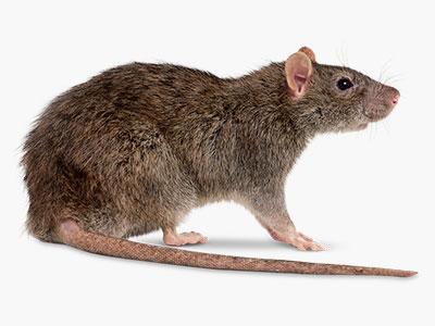Мишки и плъхове